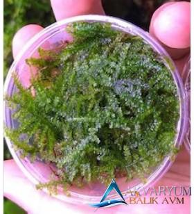 Weeping Moss Cup Canlı Bitki