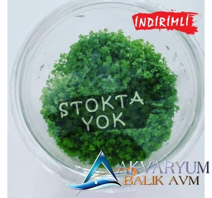 "Akvaryum Zemin Bitkisi "" Cuba "" 10cm Jelli Cup"