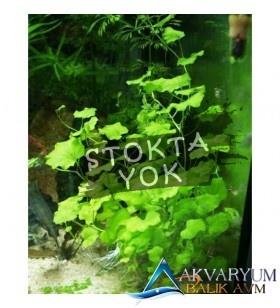 Cardamine Lyrata - Mantar Bitkisi Buket