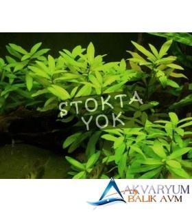 Hygrophila Polysperma Ceylon - Zeytin Buket