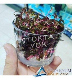 Reineckii Cup Akvaryum Bitkisi İn-Vitro Jelli