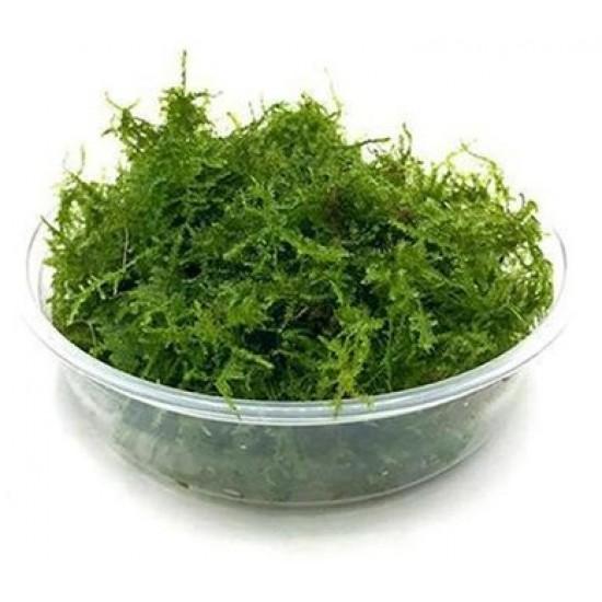 Mini Christmas Moss Cup Canlı Bitki Bitki Ürünleri